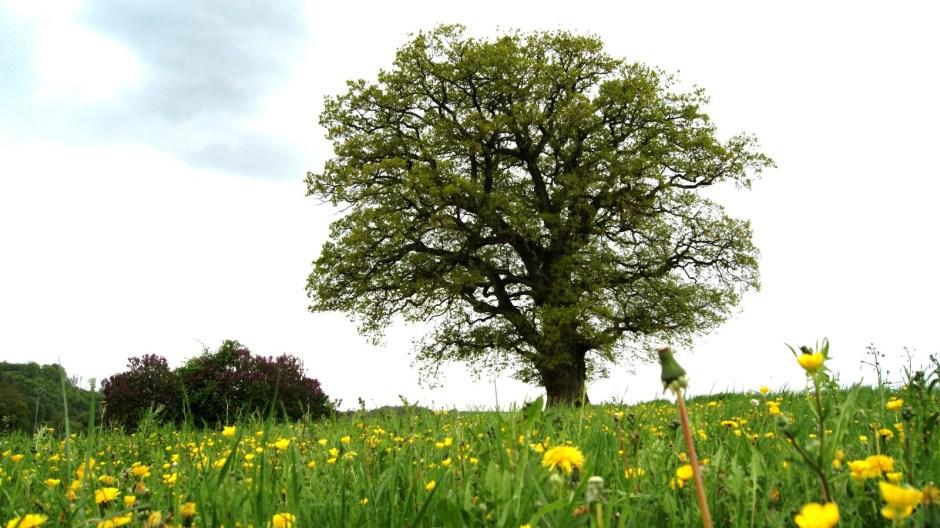 Le chêne centenaire de Bainville-aux-Saules.